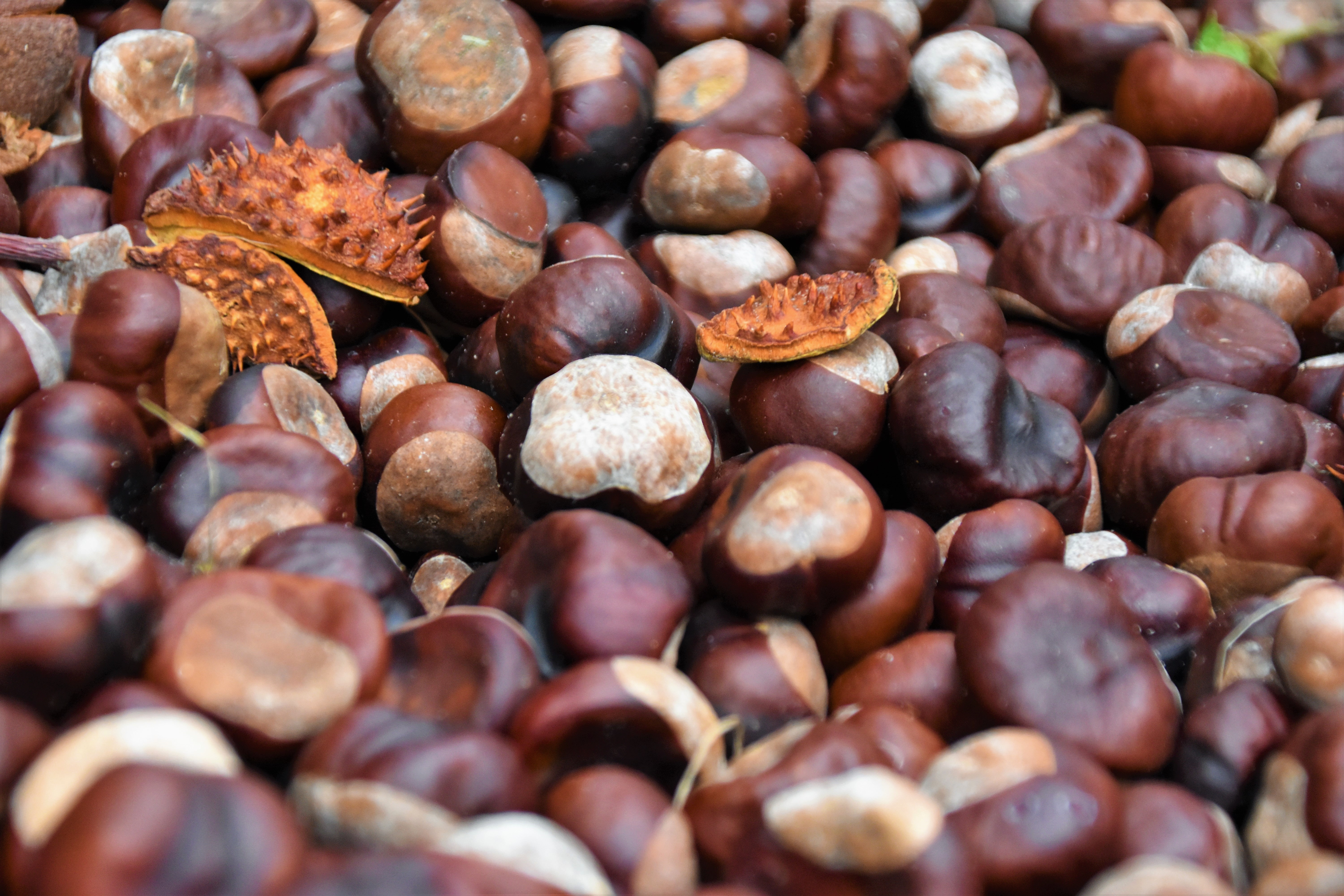 Chestnut season is almost here!  How to incorporate this delicious super-nut into your diet